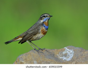 Blue throat (Luscinia svecica) brown bird perching rock showing its beautiful neck in the open farm land, fascinated nature