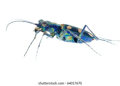 blue tiger beetle isolated on white