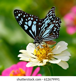 Blue tiger butterfly or Danaid Tirumala limniace on a white zinnia flower with green background and pink flowers in the background