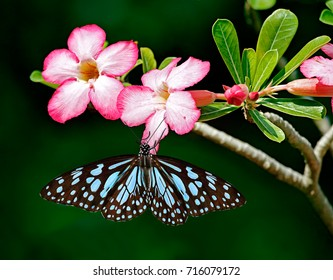 Blue tiger butterfly or Danaid Tirumala limniace on pink flowers of Adenium Obesum or Sabi star or desert rose or mock azalea with green leaves and dark green blurred background.
