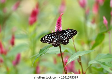 Blue tiger butterfly on cockscomb flower with green blurred background