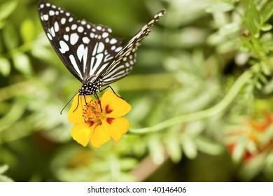 Blue Tiger Butterfly (Tirumala hamata)