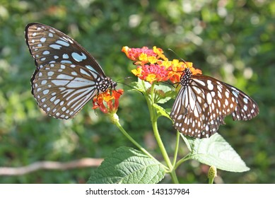 a blue tiger butterfly tirumala liminiace on vegetation in vythiri south india