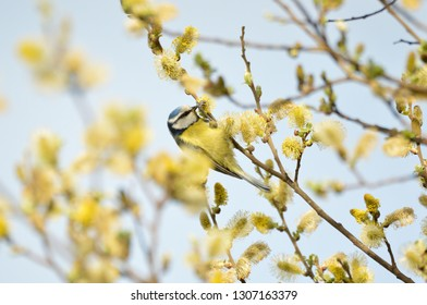Blue Tit among flowering grey sallow in early spring, Hertfordshire, England.