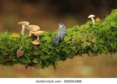 Blue tit among the mushrooms in the forest