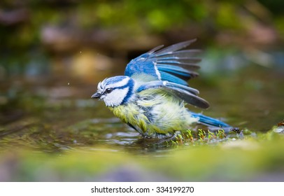 The Blue Tit bathe