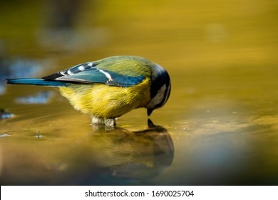 Blue Tit bird get self reflection from the well