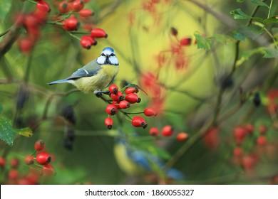 Blue tit bird on a rosehip in the garden