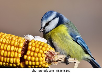 blue tit bird siting on ear of corn