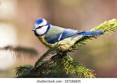blue tit bird sits on a fir branch Christmas