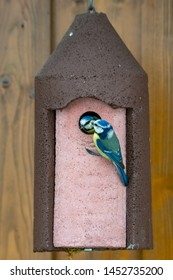 Blue tit bird sitting at a birdhouse and feeding its baby