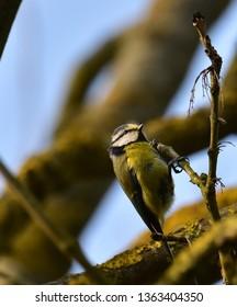 blue tit British birds