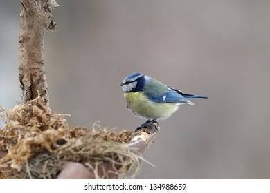 Blue tit building its nest