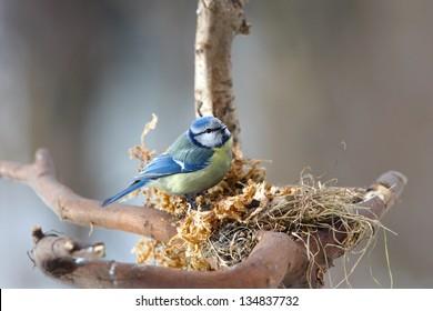 Blue tit building its nest - spring