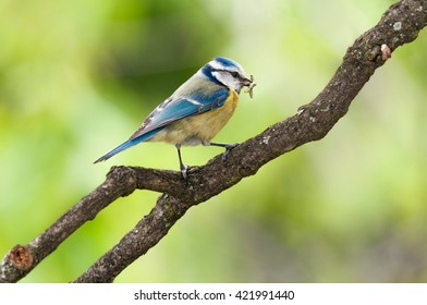 Blue tit with caught caterpillars in its mouth