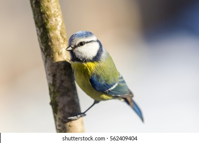 Blue tit clinging to a tree branch.