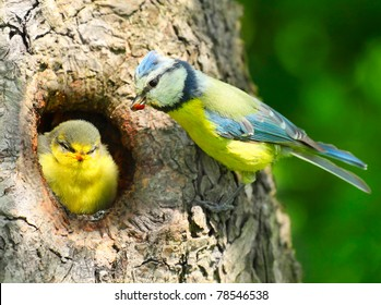 The Blue Tit (Cyanistes caeruleus) feeding her young one. Telephoto lens shot with shallow DOF.