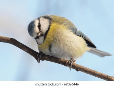 A Blue Tit (Cyanistes caeruleus) looking at the photographer