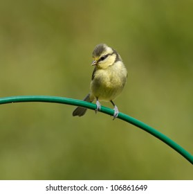 Blue Tit, Cyanistes caeruleus on a curved perch.