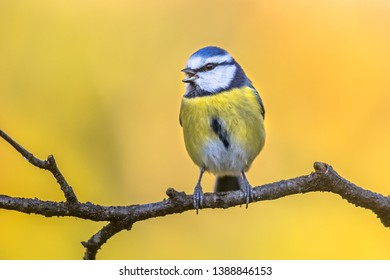 Blue tit (Cyanistes caeruleus) on a branch in november with yellow autumn color background