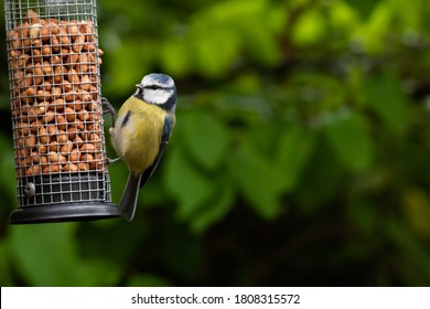 Blue tit (Cyanistes caeruleus) on a bird feeder with copy space