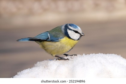 Blue Tit (Cyanistes caeruleus) on Snow