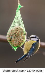 Blue tit ,Cyanistes caeruleus, Parus caeruleus, at the birdhaus in winter, Ostfriesland, Lower Saxony, Germany