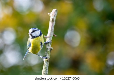 Blue Tit (Cyanistes Caeruleus) perched on branch with autumn background, United Kingdom