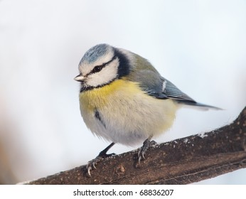A Blue Tit (Cyanistes caeruleus) perching on a twig. Winter image.
