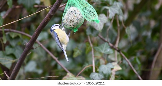 blue tit eating birdseed in town