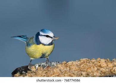 Blue Tit eating oatmeals