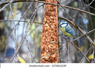 Blue tit eating peanuts in garden