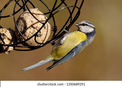 blue tit with fat balls