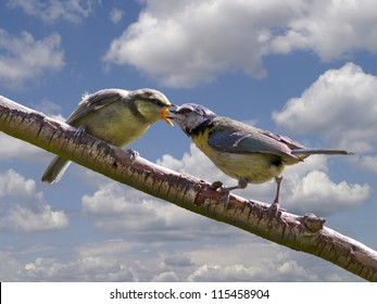 Blue tit feeding young on a branch