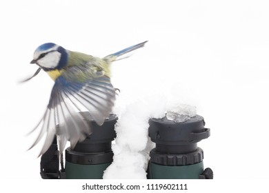 Blue tit flying over a pair of binoculars in the snow during winter in Norfolk UK. White background with bird wings open