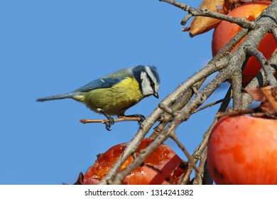Blue tit Latin cyanistes caeruleus from the paridae family of passeriformes feeding on persimmon fruit or kaki Latin diospyros kaki in winter in Italy