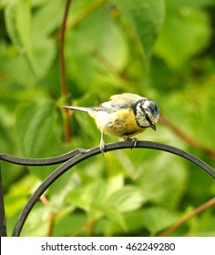 Blue tit looking down