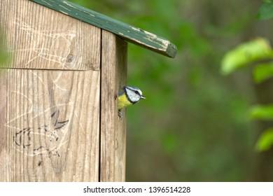 blue tit at nest box, the Netherlands
