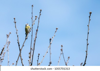 Blue tit on a small twig in the spring with blue sky in the background