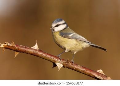 Blue tit Parus caeruleus, On branch, Midlands, winter