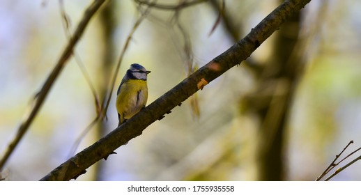 blue tit (parus caeruleus) on branch facing right side