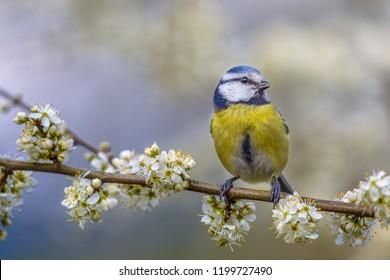 Blue tit (Parus caeruleus) perched on Hawthorn (Crataegus monogyna) twig with blossom