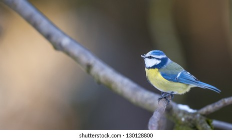 Blue tit is sitting on a branch