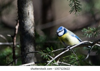 Blue tit sitting on a branch in a forest. Photo taken at Location: Karlstad, Sweden. Date: 2019-03-27