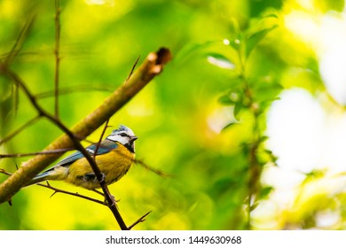 Blue tit sitting on branch front of green bokeh background