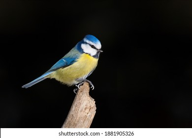 Blue tit sitting on branch