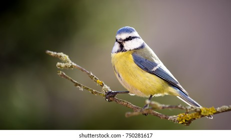 Blue tit is sitting on the branch.