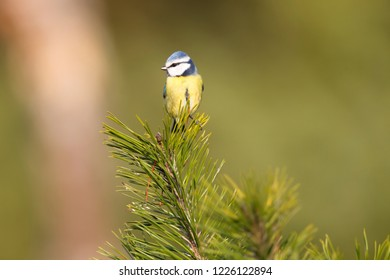 blue tit is sitting on a pine branch, the Netherlands