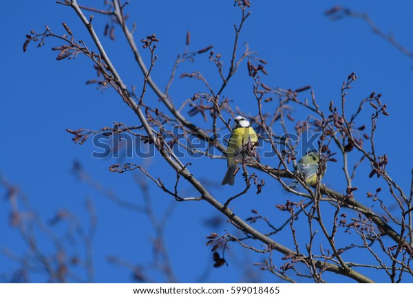 Blue tit sittting on a leafless tree branch against clear blue sky and another blue tit on the background