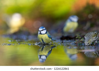 blue tit takes a bath in pond, Netherlands